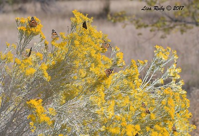Painted Lady and Queen Butterflies - 10/17/2017 - Watson Lake Riperian Area, Prescott AZ