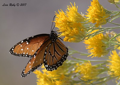 Queen Butterfly - 10/17/2017 - Watson Lake Riperian Area, Prescott AZ