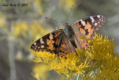 Painted Lady Butterfly - 10/17/2017 - Watson Lake Riperian Area, Prescott AZ