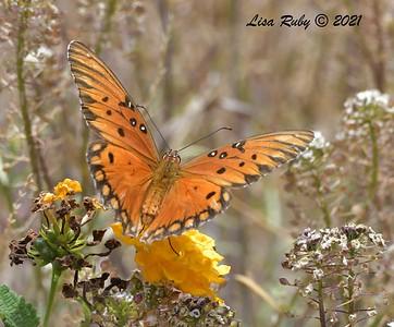 Gulf Fritillary  - 6/20/2021 - Bird & Butterfly Garden