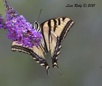 Western Tiger Swallowtail  - 6/20/2021 - Bird & Butterfly Garden