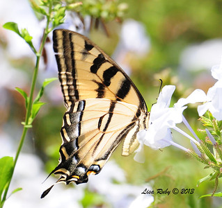 Swallowtail - Western Tiger or Pale