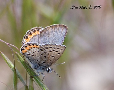 Little Blue Butterfly (this one and previous one are the same one) - 5/16/2019 - Kitchen Creek, east PCT