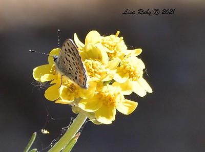 Little Blue Butterfly (Lupine Blue?) - 5/24/2021 - Kitchen Creek