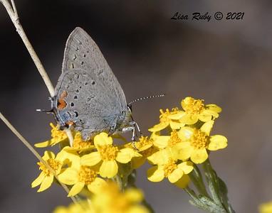 California Hairstreak Butterfly - 5/24/2021 - Kitchen Creek