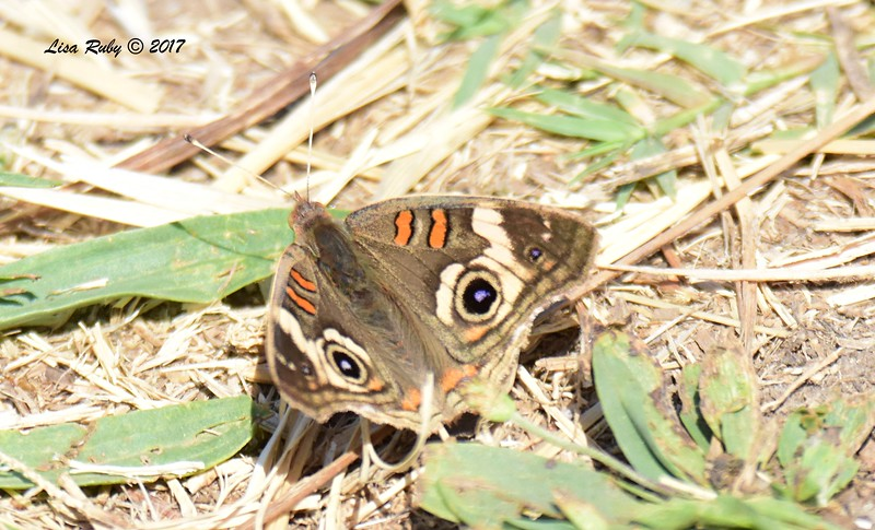 Common Buckeye Butterfly - 6/21/2017 - Lopez Canyon
