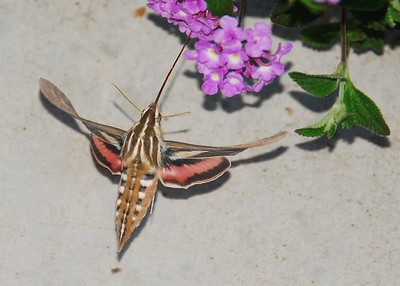 White-Lined Sphinx Moth (Hummingbird Moth) - 2008 - Sabre Springs