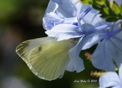 Small White Butterfly - 7/28/2013 - Not sure where