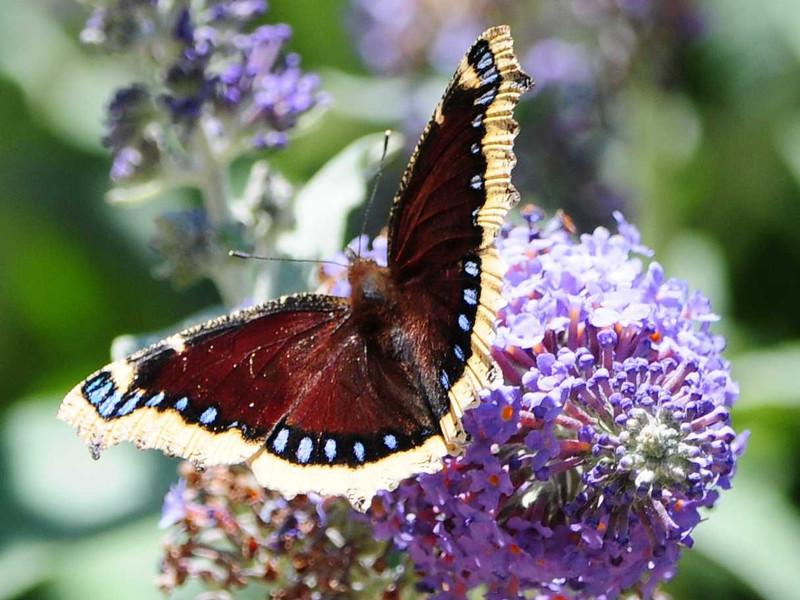 Mourning Cloak Butterfly - 5/19/2013 - Bird and Butterfly Garden