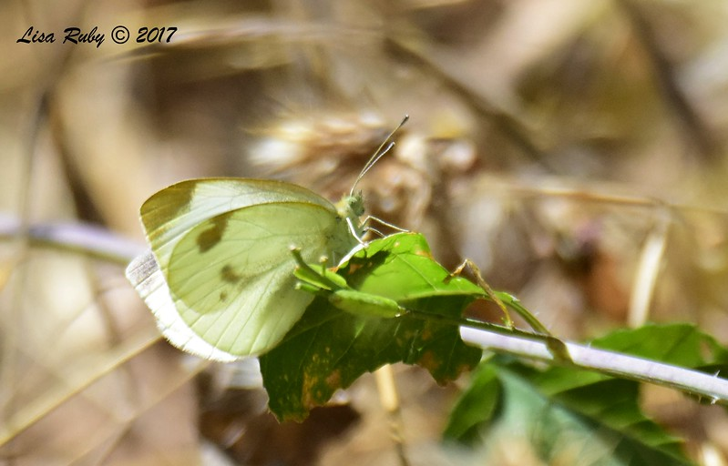 Small White Butterfly  - 6/21/2017 - Lopez Canyon