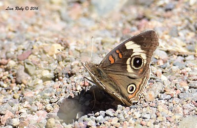 Common Buckeye - 4/19/2016 - Seven Springs Recreation Area, AZ
