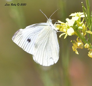 Cabbage White Butterfly - 6/17/2020 - Lake Hodges Bernardo Bay Trail