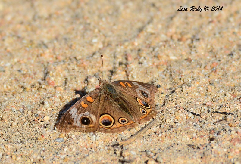 Common Buckeye Butterfly - 12/22/2014 - Coast to Crest Tail From Highland Valley Old Coach Staging Area