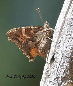 California Tortoiseshell Butterfly  - 10/22/2020 - Mount Laguna Agua Dulce