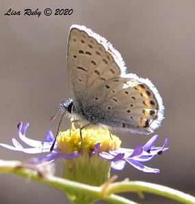 Little Blue Butterfly  - 10/22/2020 - Mount Laguna Agua Dulce