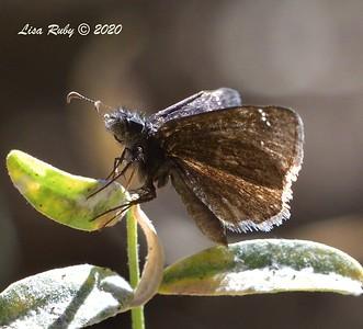 Funereal Duskywing Butterfly  - 10/22/2020 - Mount Laguna Agua Dulce