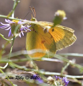Orange Sulfur Butterfly  - 10/22/2020 - Mount Laguna Agua Dulce