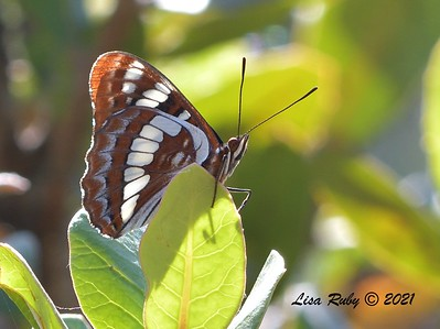 Lorquin's Admiral Butterfly  - 7/19/2021 - Sabre Springs, Penasquitos Creek Trail