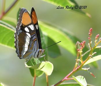 California Sister  - 07/04/2021 - Penasquitos Creek Trail, Sabre Springs