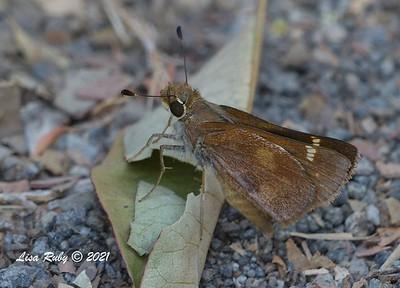 Umber Skipper Butterfly  - 7/19/2021 - Sabre Springs, Penasquitos Creek Trail