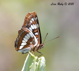 Lorquin's Admiral  - 07/04/2021 - Penasquitos Creek Trail, Sabre Springs