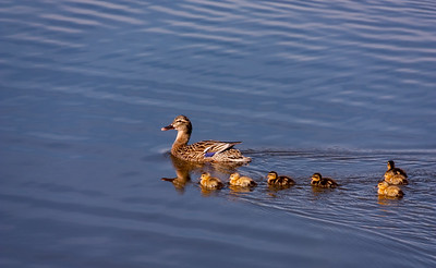 Female Mallard Duck with her Babies