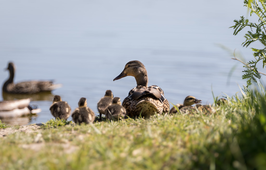 Female Mallard Duck with her Babies on the Bank of the Lagoon.
