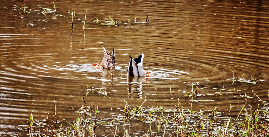 Ducks diving for food.
