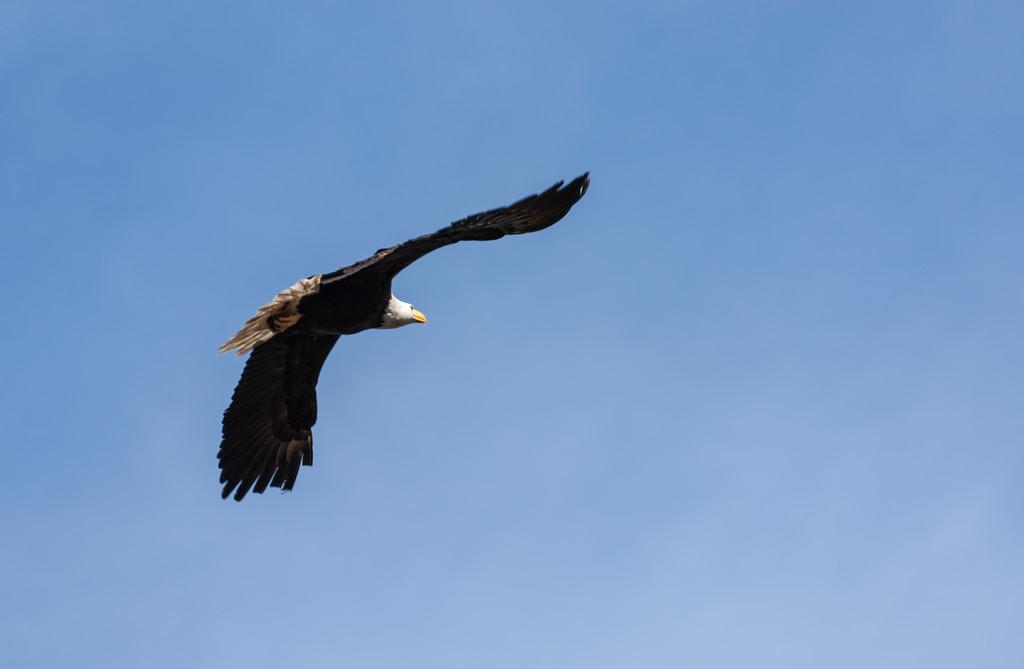 Eagle Soaring 2