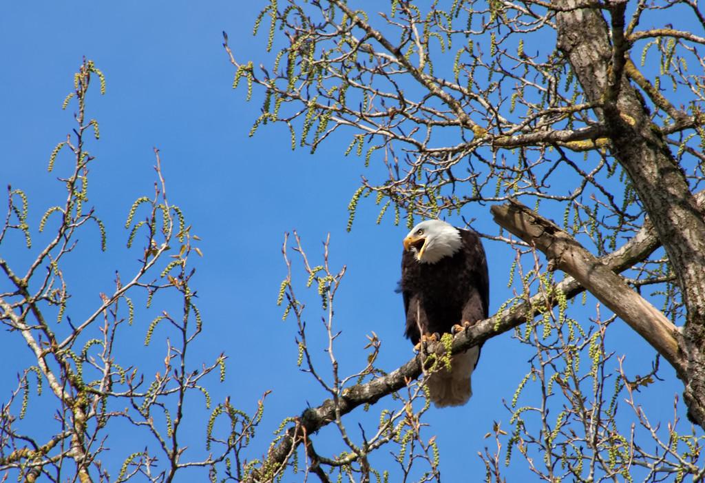 Eagle Perching