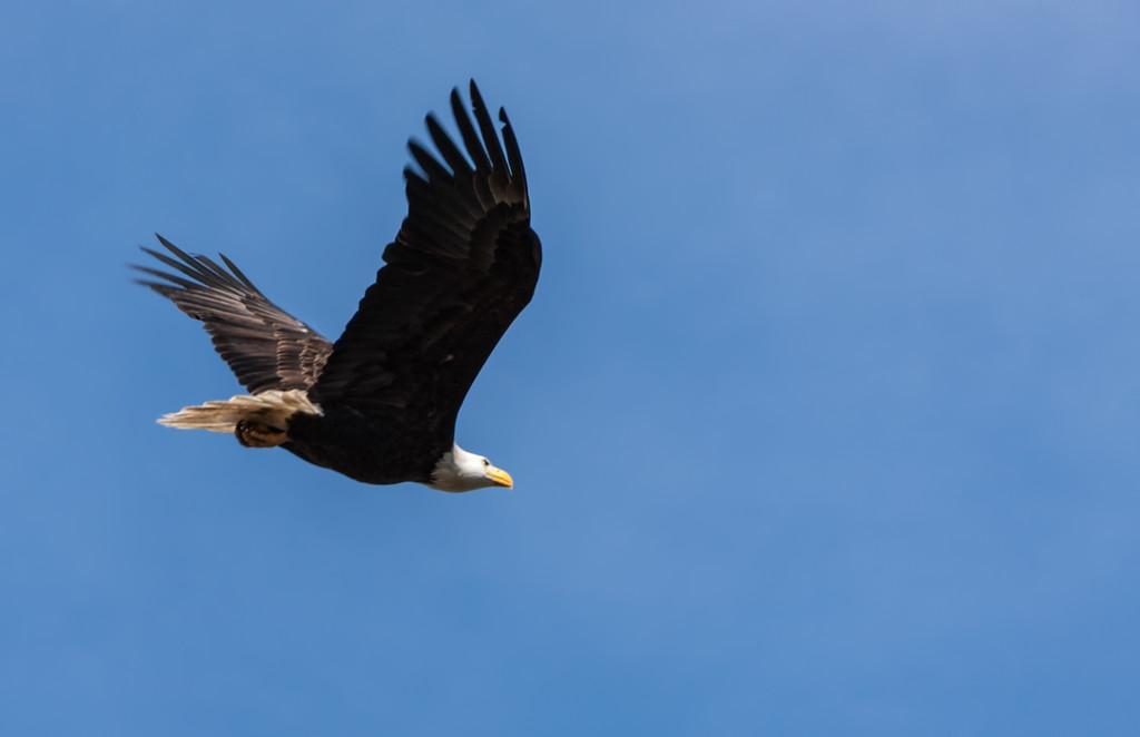 Eagle Soaring 1