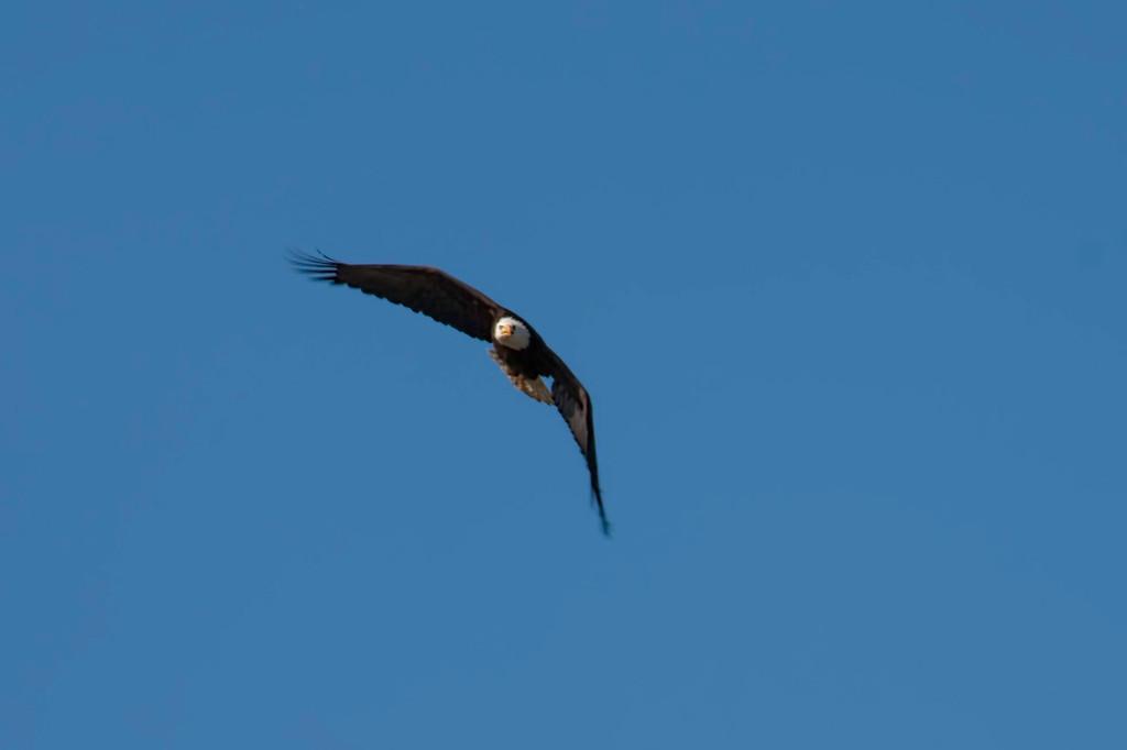 Eagle Soaring 3