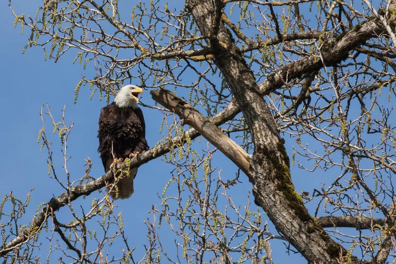 Eagle Talking