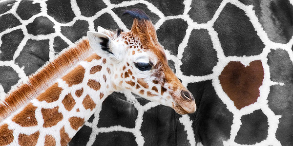 """Hidden Heart"" - Memphis Zoo   Recommended Print sizes*:  4x8  