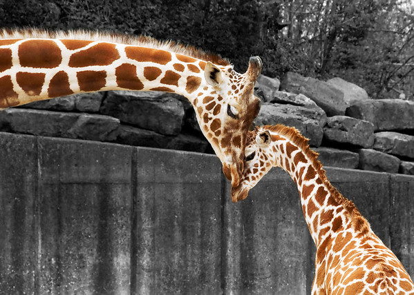 """Tall Love"" - Memphis Zoo   Recommended Print sizes*:  4x6  