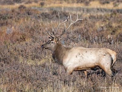 Elk Season in the Rock Mountains