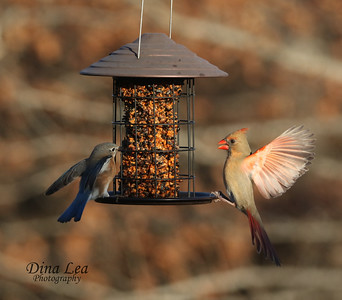 Eastern Bluebird and Female Cardinal
