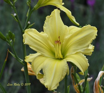 Day Lilly from our yard - 6/27/2019
