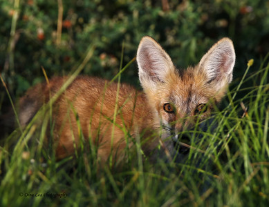 "Red Fox ""Hiding"""