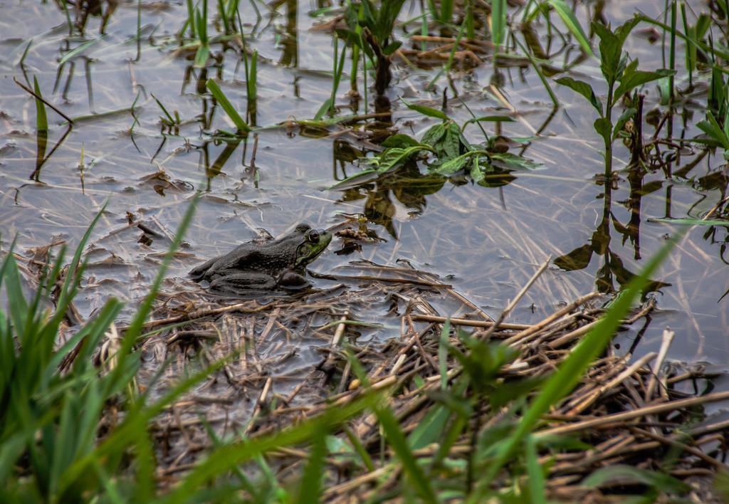 Frog in Brydon Lagoon