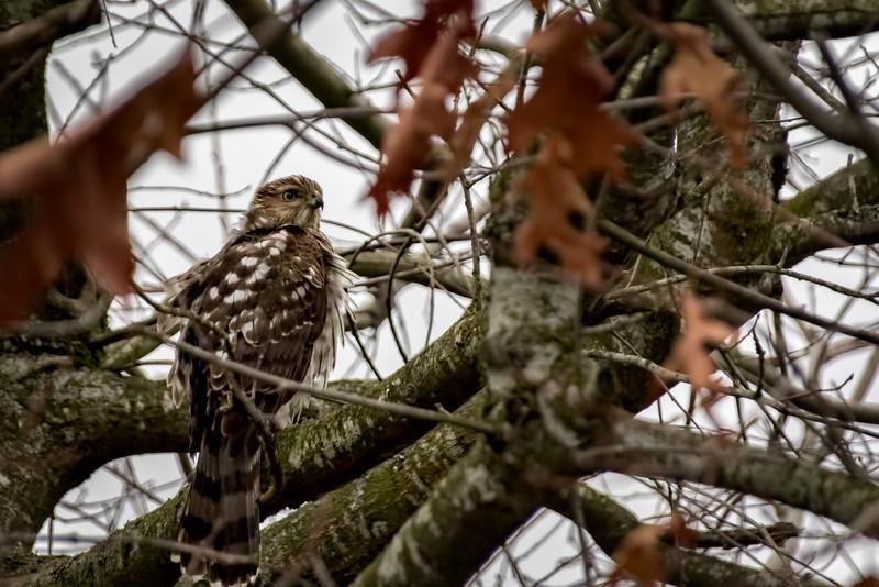 Hawk hunting at the Huntington.