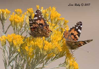 Painted Lady Butterflies - 10/17/2017 - Watson Lake Riperian Area, Prescott AZ