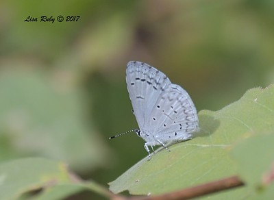 Spring Azure Butterfly? - 10/18/2017 - Wickwood Lane, Prescott, AZ