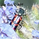 Ornate Checkered Beetle - 4/14/2019 - Agua Caliente County Park Marsh Trail