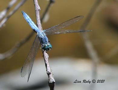 Blu Dasher Dragonfly (I think) - 7/19/2021 - Sabre Springs, Penasquitos Creek