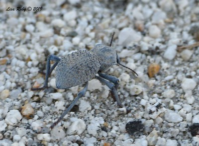 Inflated Beetle - 4/14/2019 - Agua Caliente County Park near Nature Trail