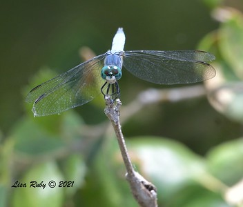 Spot Tailed Dasher Dragonfly  - 7/16/2021 - Penasquitos Creek, Sabre Springs