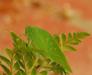 Katydid in our backyard.