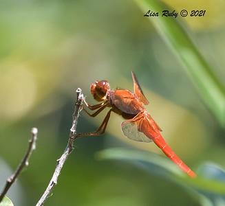 Neon Skimmer Dragonfly  - 7/16/2021 - Penasquitos Creek, Sabre Springs