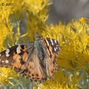 Painted Lady Butterfly - 10/17/2017 - Watson Lake Riperian Area, Prescott AZ